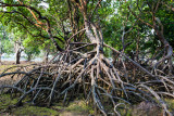 Merambong Island Mangrove IMG_4238.JPG