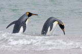 King Penguin about to dive.tif