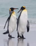 King Penguin pair together.tif