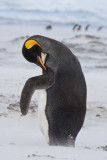 King Penguin preens in sandstorm.jpg