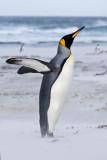 King Penguin stretching.jpg