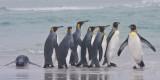 King Penguins by sea 2.jpg