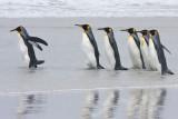 King Penguins in surf.jpg