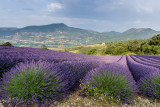 Lavender field  Sainte-Jalle valley
