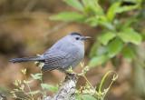 Mockingbirds' Catbirds and Thashers