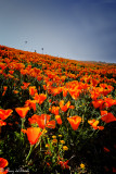 California poppies in bloom