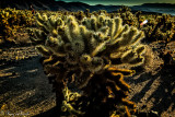 Cholla Cactus backlighted, Joshua Tree NP, CA