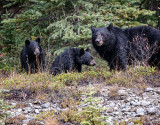 Momma bear and 2 cubs_20141006-IMG_0770-1.jpg