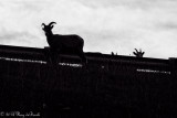 Big Horn Sheep_B&W_20140929-IMG_9636.jpg