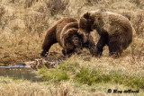 Grizzly Fight, Yellowstone!
