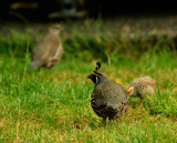 Takahe, flightless, endangered...IMG_0251.jpg