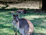 Kangaroo action