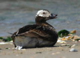 Long-tail Duck (Oldsquaw)