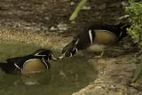 Wood Ducks.jpeg