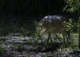 Florida Red Wolf.jpg