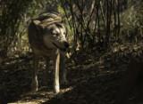 Red Wolf2.jpg