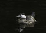 Duck1212.jpg