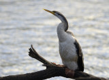 darter_cormorants_and_others_at_moggill_river