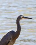 herons_on_the_brisbane_river