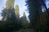 redwoods vs spruce.jpg