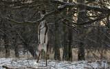 Dovhjort stående på ett ben drar ner grenar med hornen