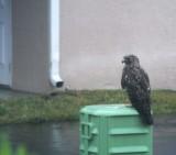 hawk in the rain thru a dirty window and screen