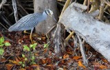 Yellow Crowned Night Heron on the hunt