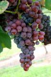 Grape Harvest & Making