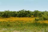 fields of gold.jpg