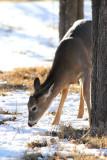 Young Deer Grazing in Hackberry Campground.