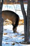 Winter Deer Grazing in Hackberry