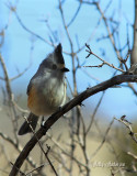 Black Crested Titmouse - Chinaberry Picnic Area