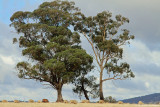 Towering Eucalyptus trees
