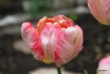 Tulipa Weber's Parrot