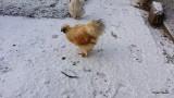 Our Silky & Antwerpen Chickens ( Vores Silkehøns & Antwerper ) Gallery