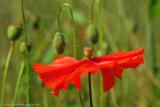 the dervish poppy