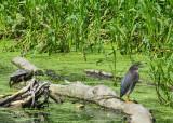 Green Heron and Big Turtle