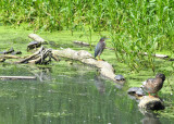 Ninja Turtles attempting to surround unsuspecting Green Heron