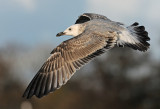 caspian-gull-second-winter-grou-holland-10-11-2013-nr-3.jpg