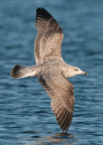 herring-gull-grou-jan-2014-2nd-winter.jpg