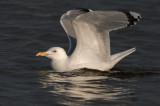 Caspian-Gull-ad-nr-3-2014-Grou-Holland.jpg