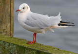 Black-headed-gull-pink-nov-2014-holland.jpg