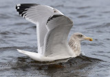 4th-winter-herring-gull-nov-2014-holland.jpg