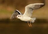 black-headed-gull-jan-2015-first-winter.jpg