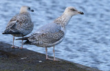 Herring-gull-2nd-winter-jan-4-2015.jpg