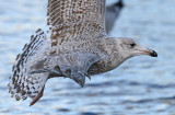herring-gull-a-typical-tail-nr-2-2015.jpg