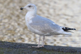 Herring-gull-jan-2015-ee-brug third winter