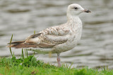 Herring-Gull-moulting-aug-2013-holland1.jpg
