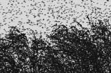 Spreeuwen slaapplaats vliegshow lauwersmeer 2.jpg