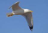 Caspian gull pontische meeuw geel PDUS Yellow PDUS.jpg